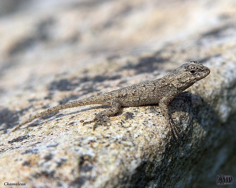 SMP-0211_Chameleon