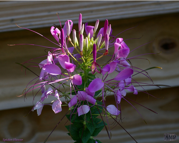 SMP-0216_Spider_Flower by StevePettit