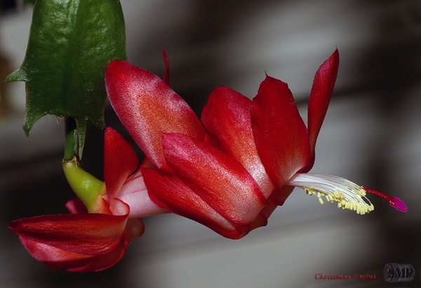SMP-0220_Christmas_Cactus by StevePettit