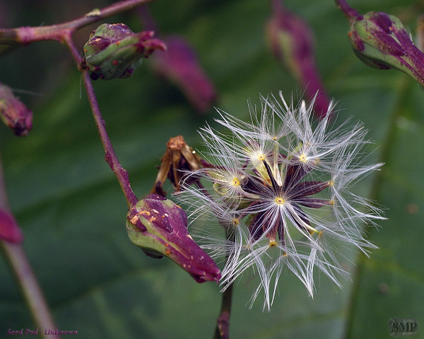 SMP-0222_Seed_Pod-Unknown by StevePettit