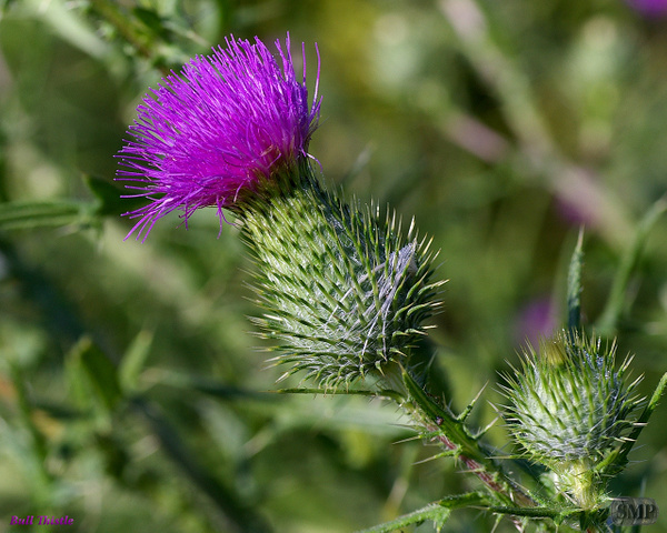 SMP-0223_Thistle-Bull by StevePettit