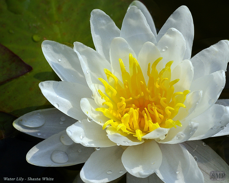 SMP-0227_Water_Lily-Shasta_White - Copy
