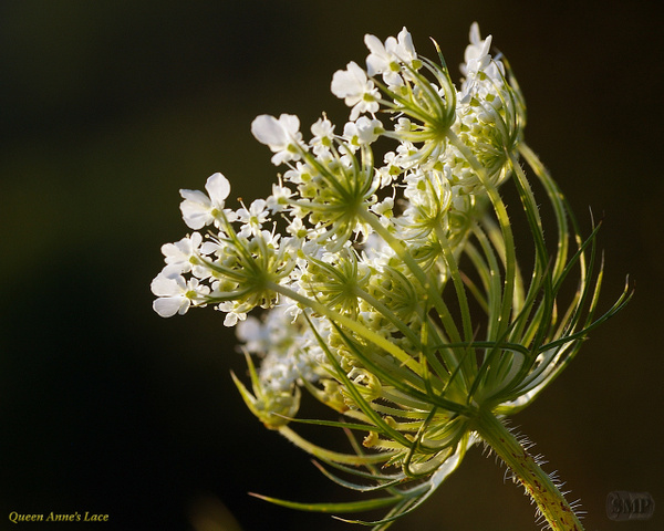 SMP-0317_Queen_Annes_Lace by StevePettit