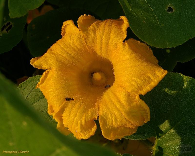 SMP-0319_Pumpkin_Flower