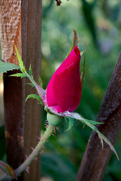 SMP-0323_RedRose by StevePettit