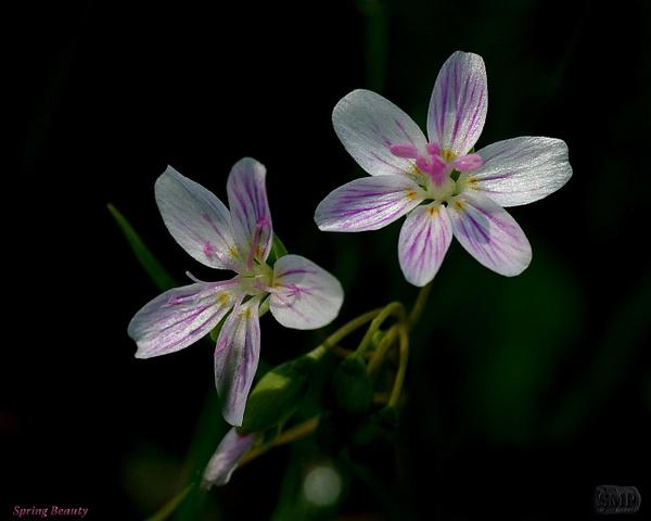 SMP-0281_Spring Beauty by StevePettit