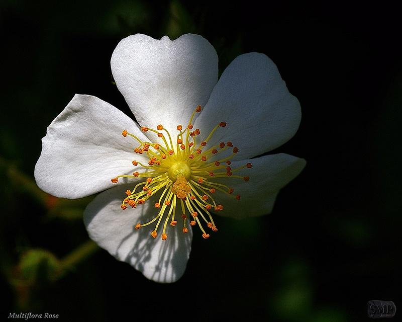 SMP-0287_Multiflora Rose