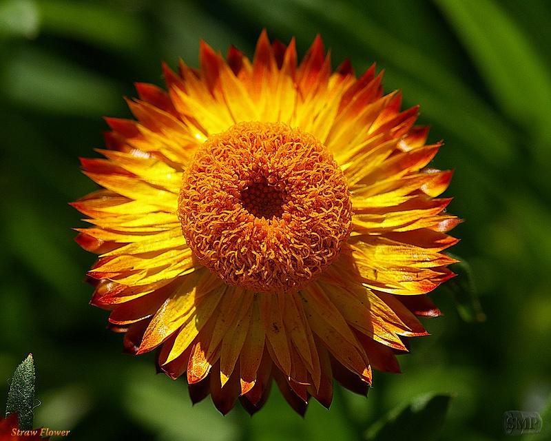 SMP-0288_Straw_Flower