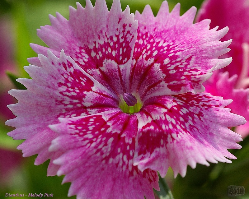 SMP-0290_Dianthus-Melody_Pink