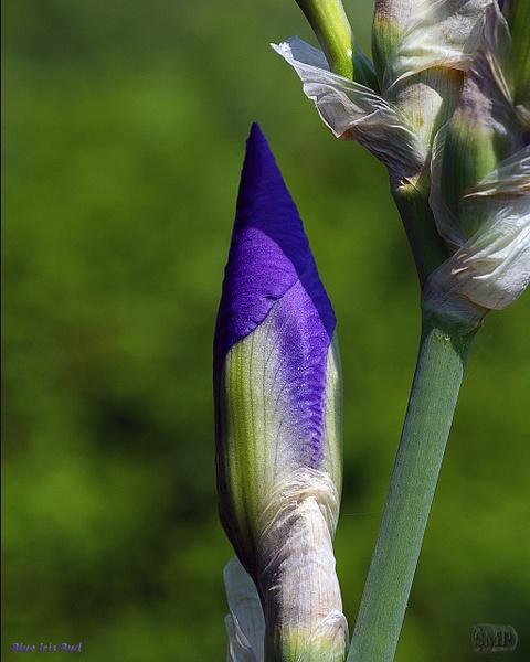 SMP-0292_Bud-Blue_Iris by StevePettit