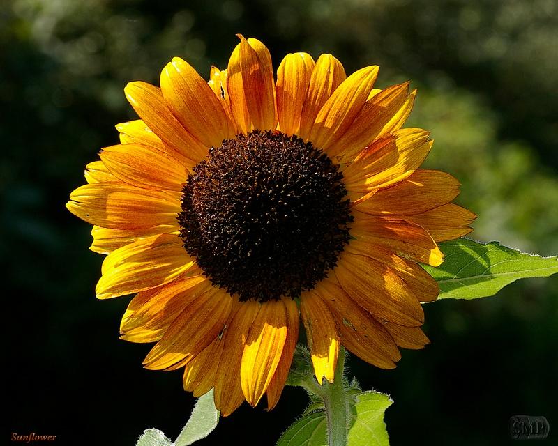 SMP-0295_Sunflower