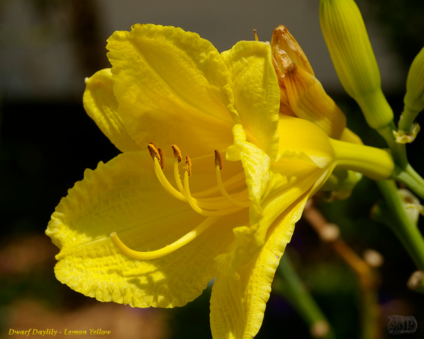 SMP-0296_Daylily_Dwarf-Lemon_Yellow by StevePettit
