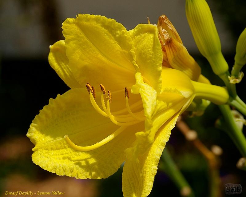SMP-0296_Daylily_Dwarf-Lemon_Yellow