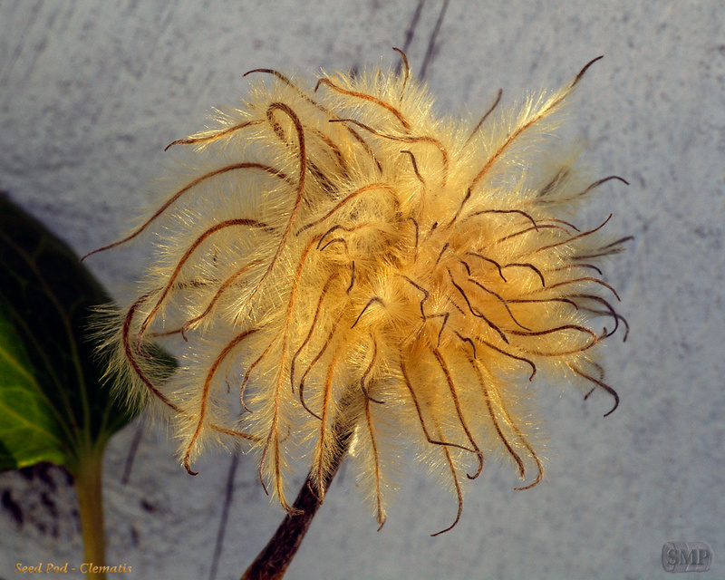 SMP-0297_Seed_Pod-Clematis