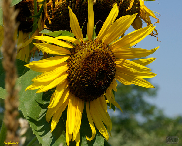 SMP-0299_Sunflower by StevePettit