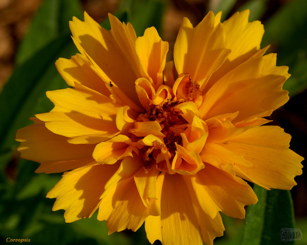 SMP-0301_Coreopsis by StevePettit