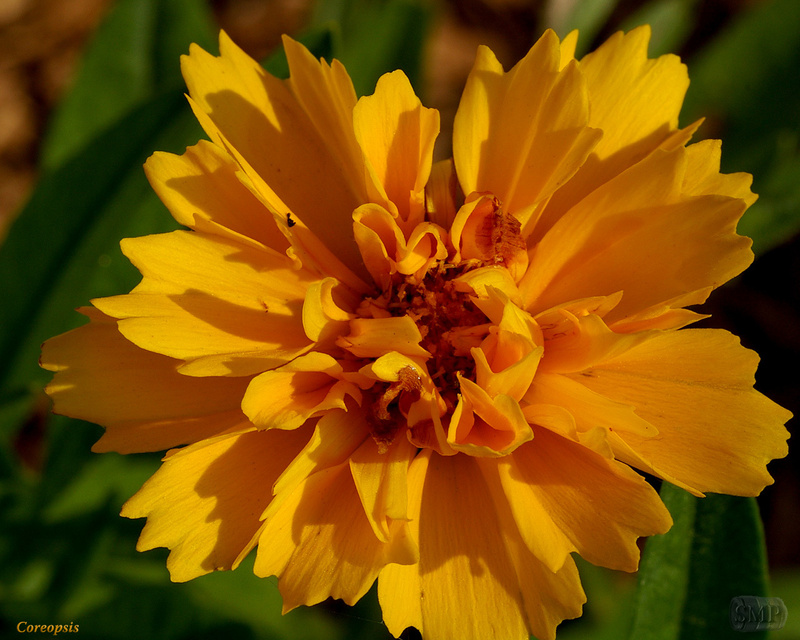 SMP-0301_Coreopsis