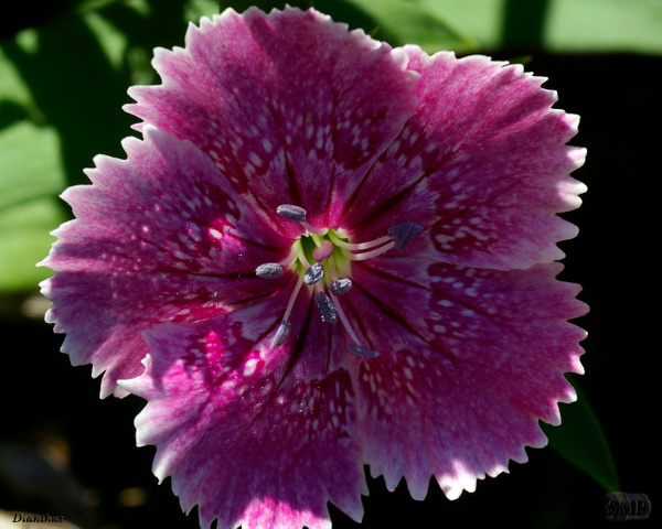 SMP-0302_Dianthus by StevePettit