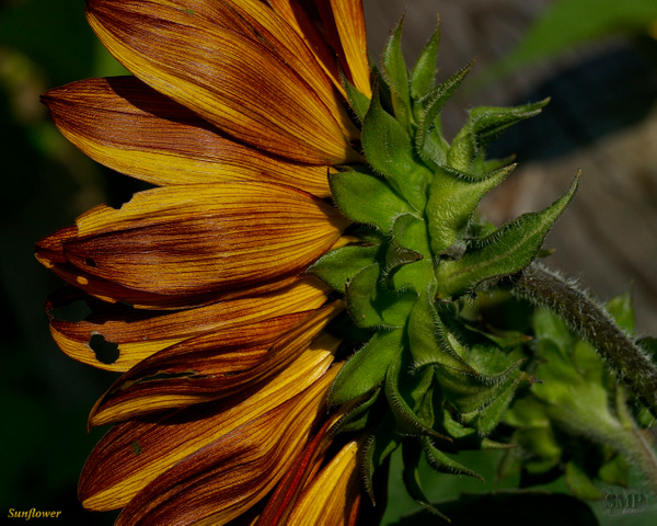 SMP-0305_Sunflower by StevePettit
