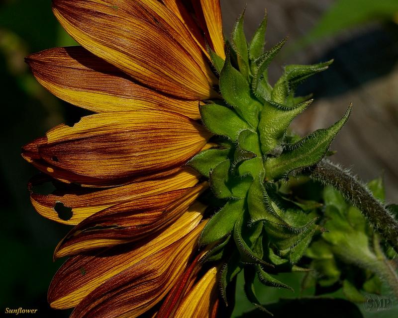 SMP-0305_Sunflower