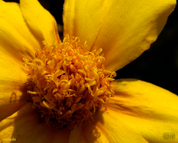 SMP-0306_Marigold by StevePettit