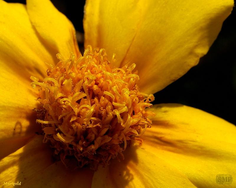 SMP-0306_Marigold