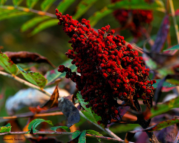 SMP-0307_Sumac-Smooth by StevePettit