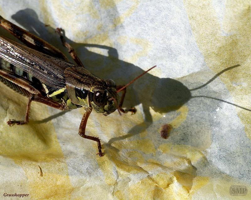 SMP-0313_Grasshopper