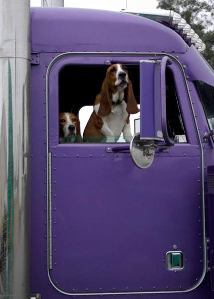 Beagles In A Large Car