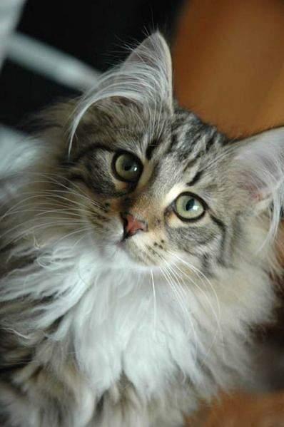 398px-Norwegian_Forest_Cat_Portrait
