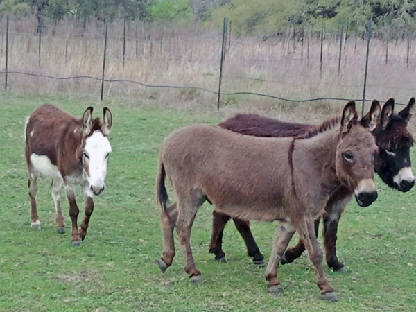 Our inkeeper Rose had acquired some mini-donkeys since last year. by DellHollingsworth