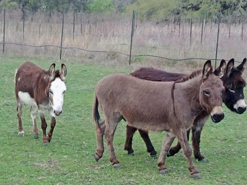 Our inkeeper Rose had acquired some mini-donkeys since last year.