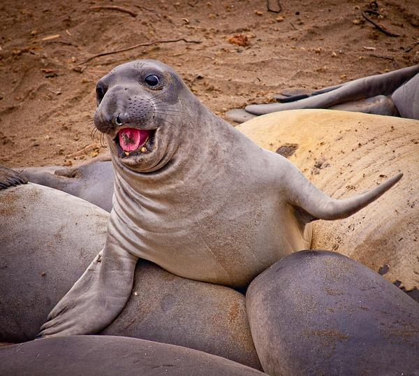 Elephant Seal by SBerzin