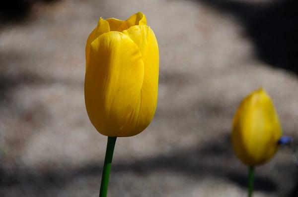 Yellow Tulip by SBerzin