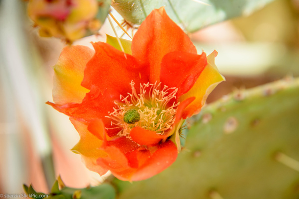 Cactus Flower by SBerzin