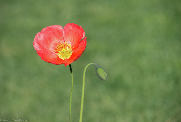 Poppy Flower by SBerzin