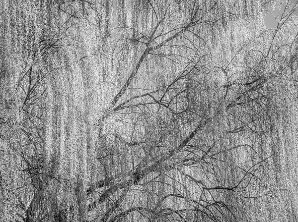 Willow Ivy by SBerzin