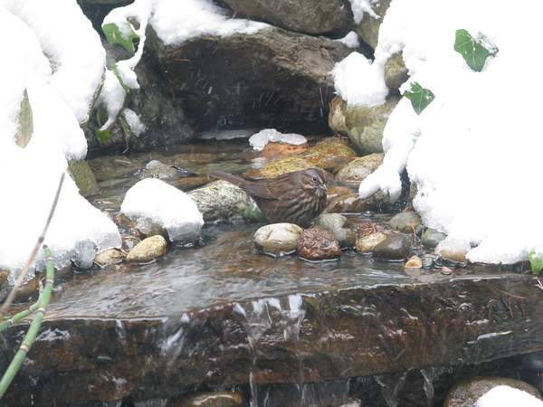 Song Sparrow in our Fountain