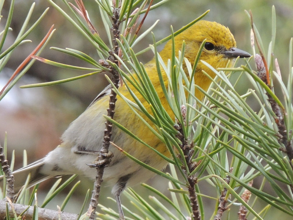 Pine Warblers by WilliamYoung