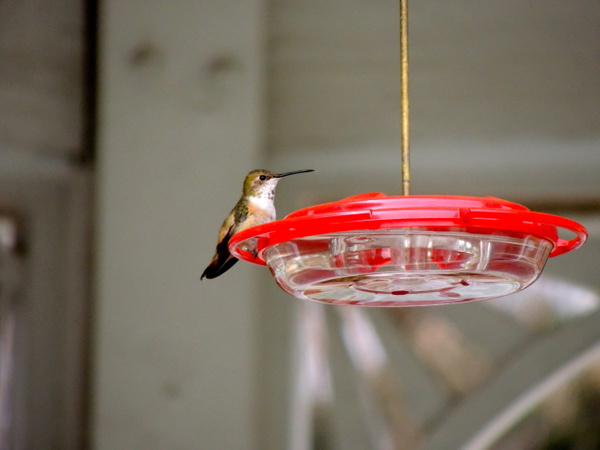 Rufous Hummingbird by WilliamYoung