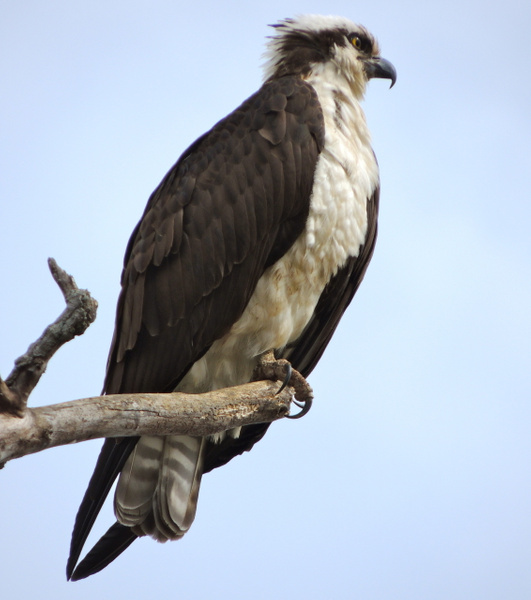 Ospreys by WilliamYoung