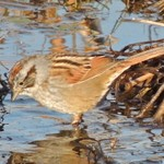 Swamp Sparrows