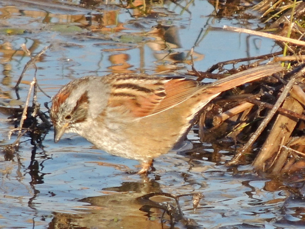 Swamp Sparrows by WilliamYoung
