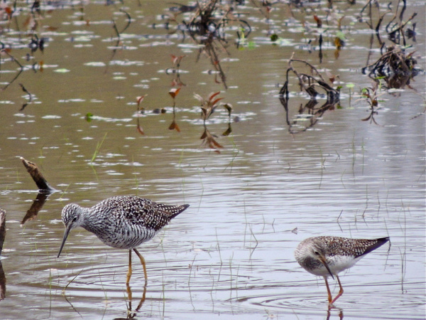 Greater Yellowlegs by WilliamYoung