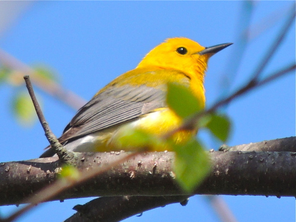 Prothonotary Warbler, Riley's Lock, Darnestown, MD,...