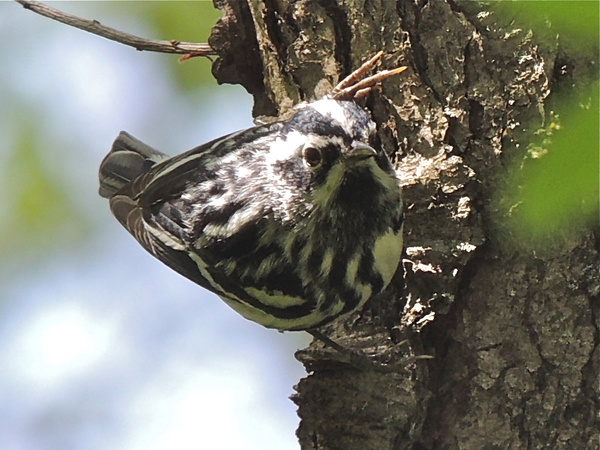 Black-and-white Warblers by WilliamYoung