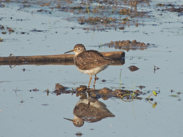 Solitary Sandpipers by WilliamYoung