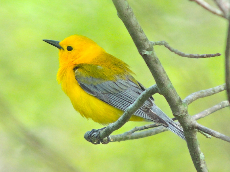 Prothonotary Warbler, Riley's Lock, Darnestown, MD, May 1, 2013