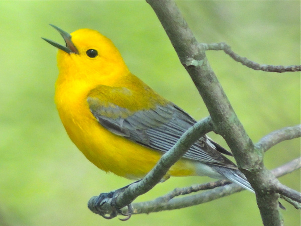 Prothonotary Warbler, Riley's Lock, Darnestown, MD, May...