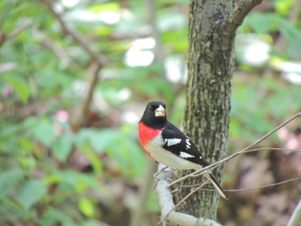Rose-breasted Grosbeaks by WilliamYoung